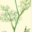 aneth odorant