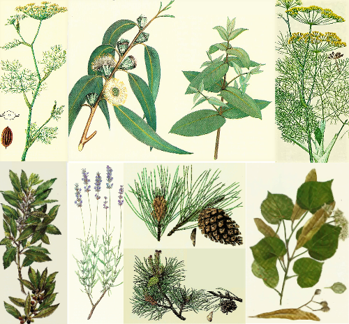 Le pin maritime et le pin sylvestre